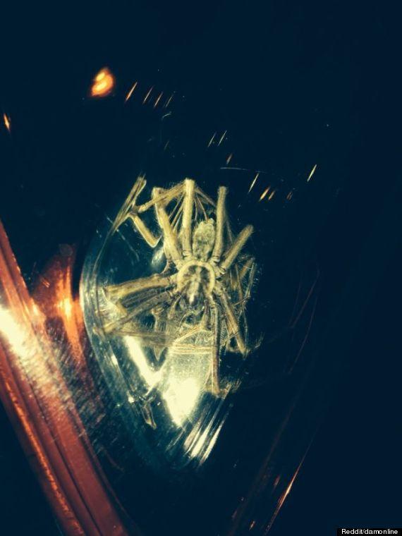 Sốc với nhện khổng lồ to bằng đầu người 1