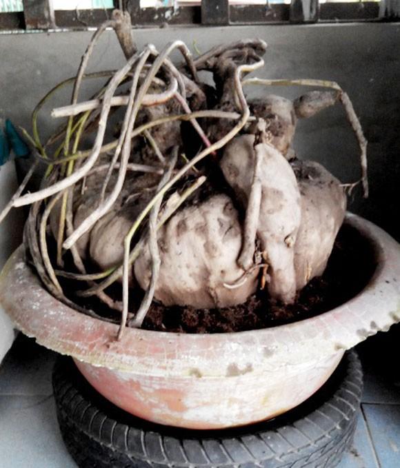 Những củ khoai lang kỳ dị, giá bạc triệu ở Việt Nam 5