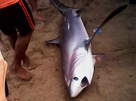 Lần đầu tiên cá mập trắng dạt vào bãi tắm Nha Trang 1