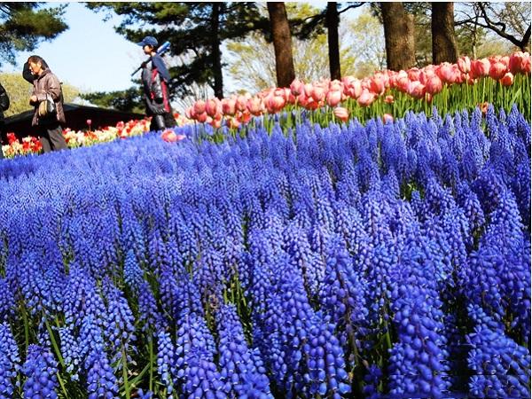 Ngất ngây 4 mùa ở thiên đường hoa Hitachi 14