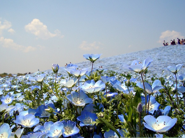 Ngất ngây 4 mùa ở thiên đường hoa Hitachi 6