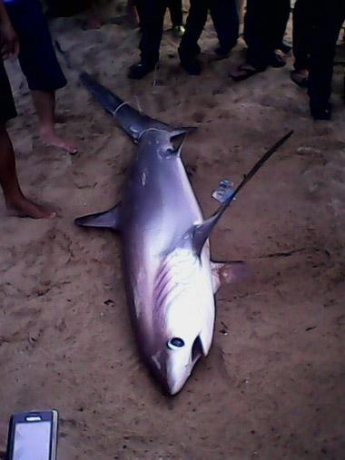 Lần đầu tiên cá mập trắng dạt vào bãi tắm Nha Trang 2