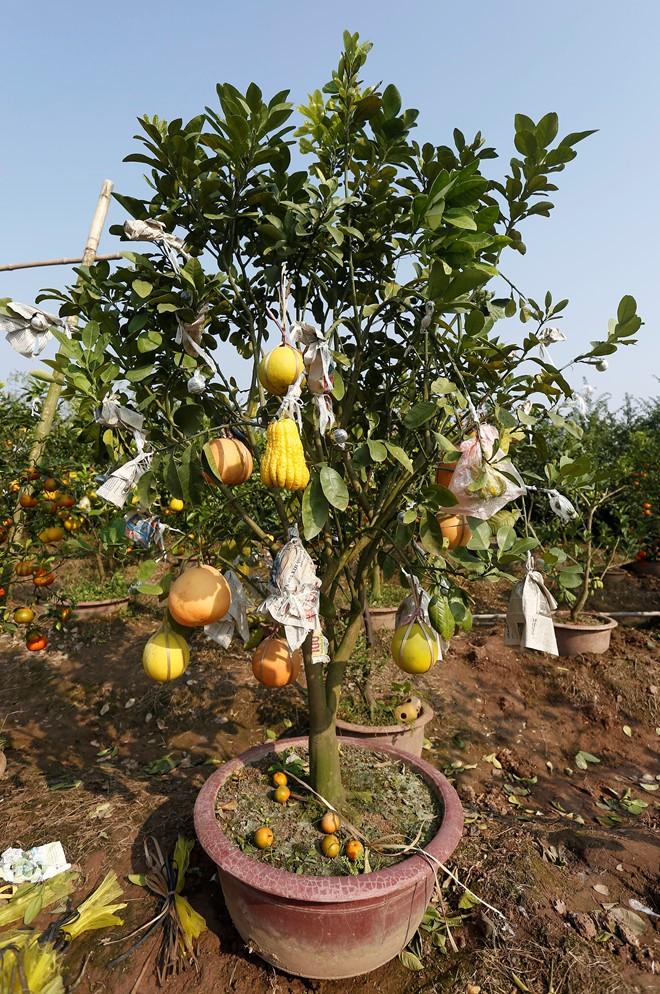 Cận cảnh vườn cây có 5 loại quả của lão nông Hà Thành 8