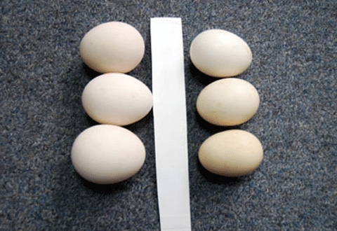 Nhận biết trứng gà ta thật 1