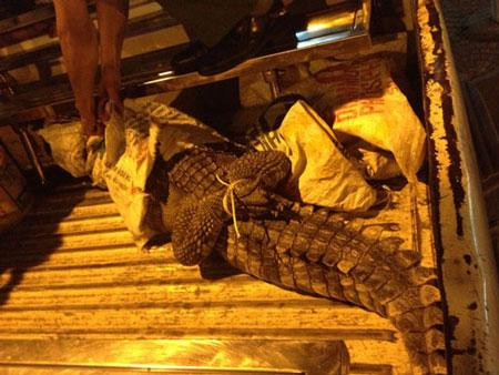 Cá sấu giãy giụa trên đường phố trung tâm Sài Gòn 1