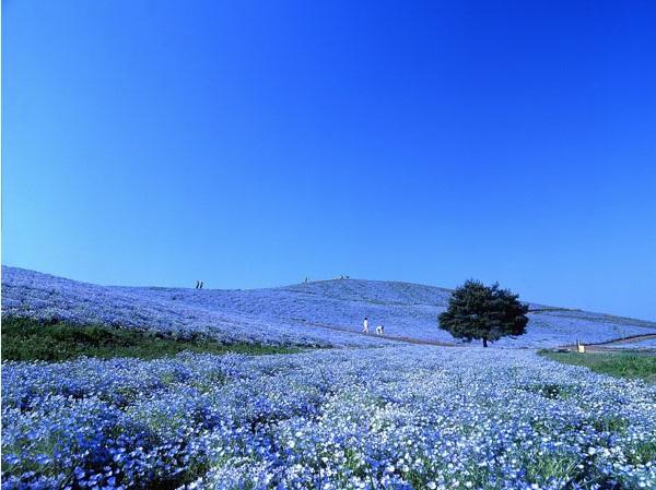 Ngất ngây 4 mùa ở thiên đường hoa Hitachi 5