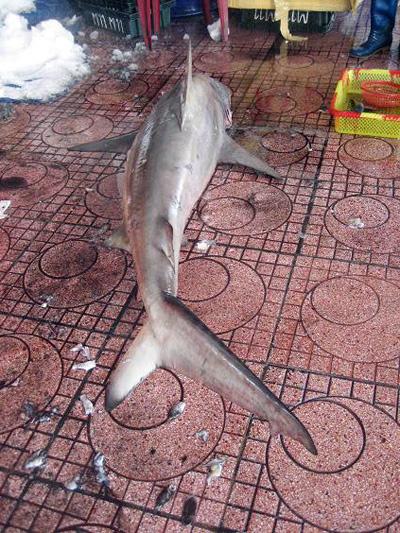 Kinh hãi bắt được cá mập ngay sát bãi tắm 2