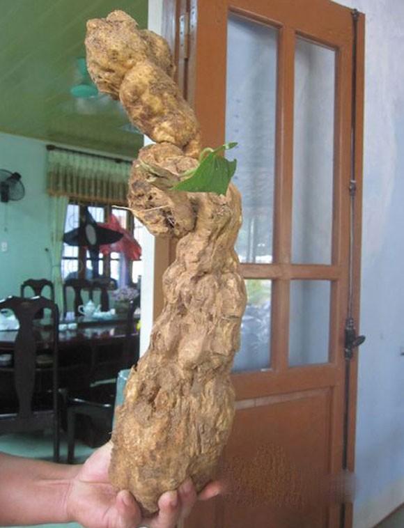 Những củ khoai lang kỳ dị, giá bạc triệu ở Việt Nam 1