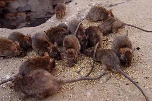 Bị lên án vì nhân giống hàng ngàn con chuột 1