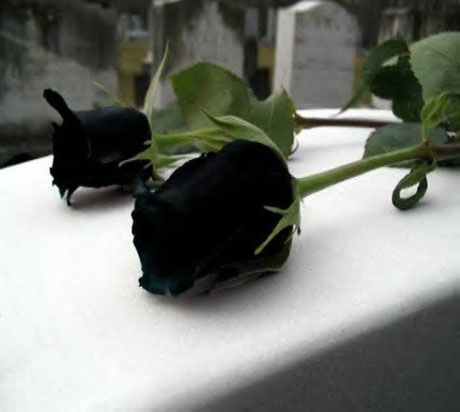 Hoa hồng đen huyền bí quý hiếm ở Thổ Nhĩ Kỳ 2