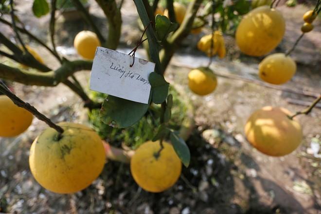 Cận cảnh vườn cây có 5 loại quả của lão nông Hà Thành 5