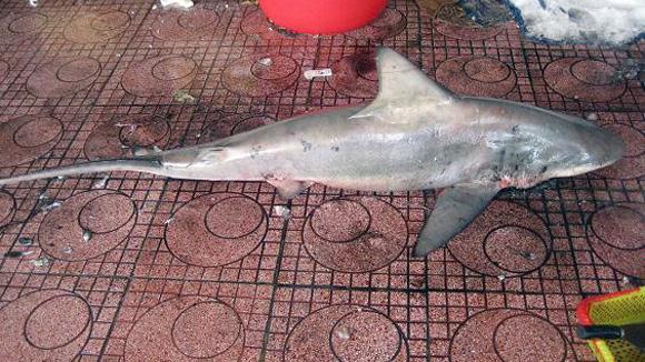 Kinh hãi bắt được cá mập ngay sát bãi tắm 1