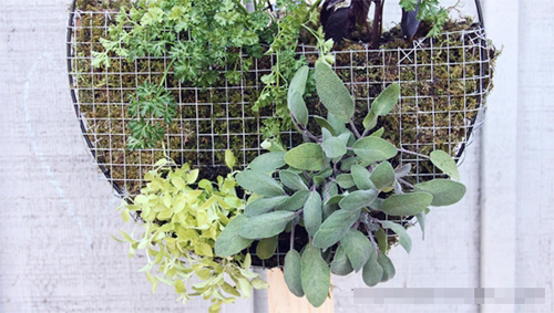 Tự làm vườn treo trồng rau trong bếp 8
