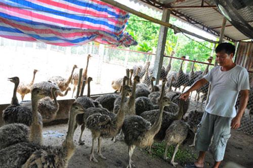 Nông dân nuôi đà điểu, lãi 300 triệu đồng/năm 1