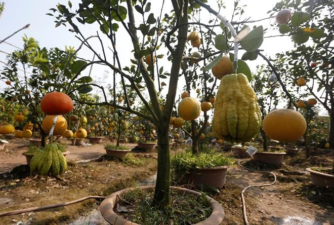 Cận cảnh vườn cây có 5 loại quả của lão nông Hà Thành 3