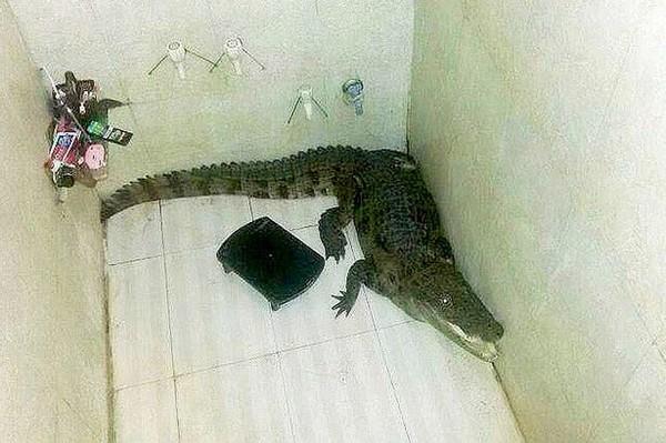 Kinh hãi phát hiện cá sấu đột nhập phòng tắm 1