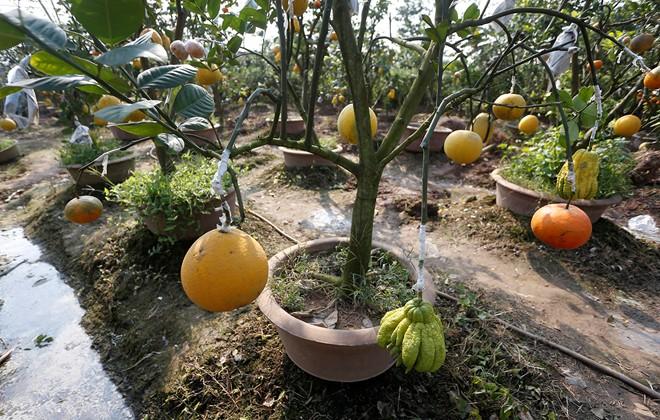 Cận cảnh vườn cây có 5 loại quả của lão nông Hà Thành 12