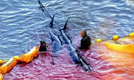 Hãi hùng nước chuyển sang màu đỏ vì thảm sát cá heo  2