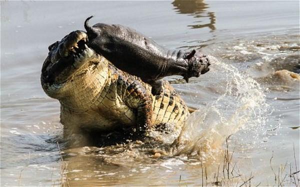 """Kinh hãi trước cảnh cá sấu khổng lồ """"ăn gỏi"""" cá sấu, cá mập và hà mã 2"""