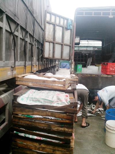 Nửa tấn cá quả, ếch Trung Quốc tràn về Việt Nam 2