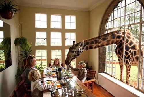 Vào khách sạn để được ăn sáng với hươu cao cổ 1