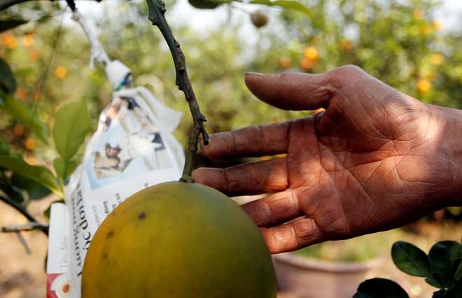 Cận cảnh vườn cây có 5 loại quả của lão nông Hà Thành 11