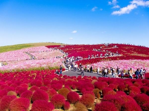 Ngất ngây 4 mùa ở thiên đường hoa Hitachi 10